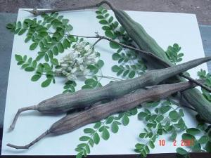 Moringa leaves, pods and flowers